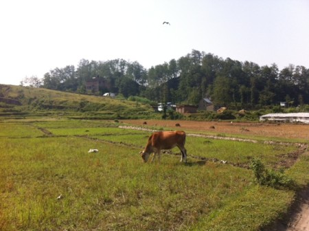Some normalcy in the fields around Kathmandu